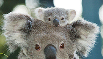 Billabong Koala and Wildlife Park - Goulburn Accommodation