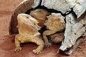 Alice Springs Reptile Centre - Goulburn Accommodation