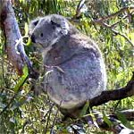 Koala Conservation Centre - Goulburn Accommodation